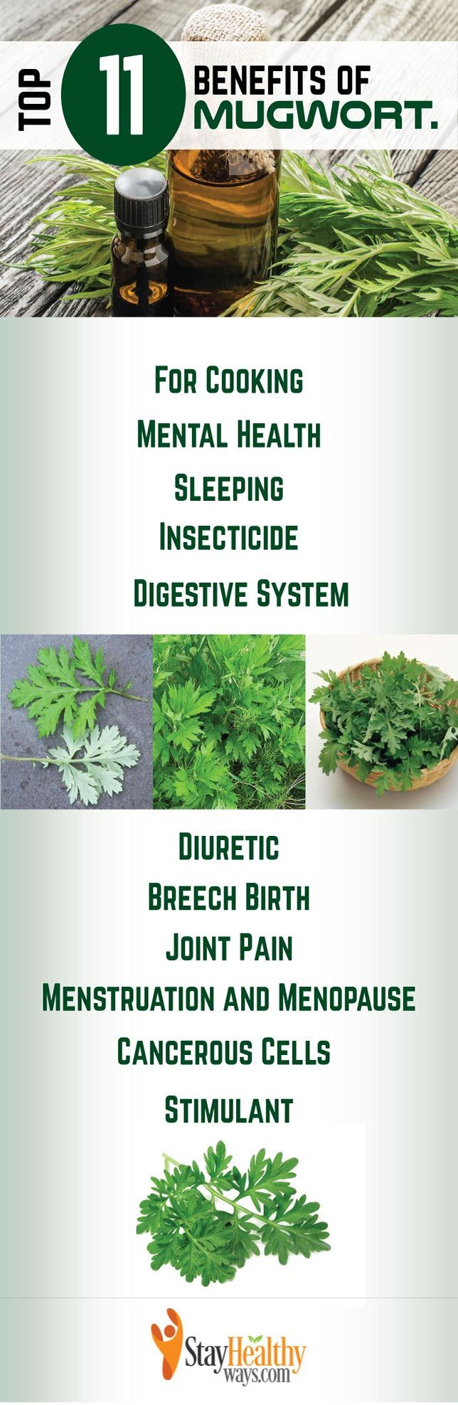 mugwort benefits infographic