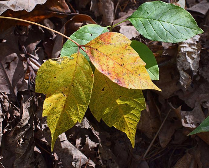 essential oils for poison ivy itch